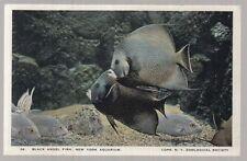 [25320] OLD POSTCARD BLACK ANGEL FISH AT THE NEW YORK AQUARIUM