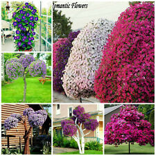 Petunia Large Tree Seeds Plants Bonsai Flower Petals Rotating Series Bonsais