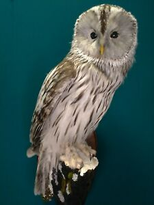 Owl taxidermy. Ural Owl. Hedwig フクロウ Latin: Strix uralensis