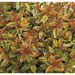 Abelia Kaleidoscope - Tausendblütenstrauch im Topf