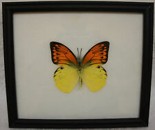 GREAT YELLOW ORANGE TIP (HEBOMOIA LEUCIPPE) BUTTERFLY FRAME - GENUINE SPECIMEN