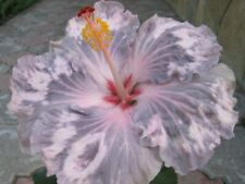 *Snow On The Mountain* Rooted Tropical Hibiscus Plant*Ships Bare Root*