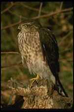 070090 Sharp Shinned Hawk On Hunting Perch A4 Photo Print