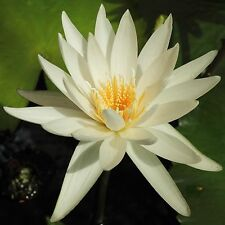 White Water lily Nymphaea Ampla10 Fresh seeds Not lotus CombSH A57