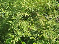20 Samen Schwarzer Riesenbambus - Dendrocalamus strictus