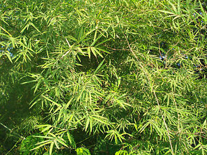 1000 Samen  Riesenbambus - Dendrocalamus strictus Kalkuttabambus