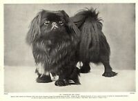 1930s Antique PEKINGESE Dog Print Champion Portelet Tzu Ting Photo Print 3700-J