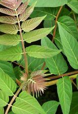 Ailanthus altissima (Albero del cielo) - 25 semi. altamente ornamentali albero.