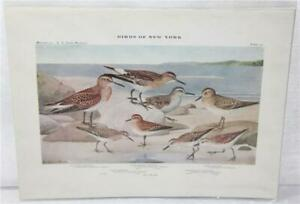 Vintage Print Book Plate No 35 Sandpiper from Birds of New York Louis A Fuertes
