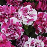 DOUBLE Rose PIROUETTE ~ PETUNIA ~ 25 Pelleted SEEDS