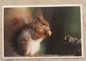 Animal Postcard ~ 15x10cm American Red Squirrel