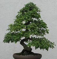 Bonsai i! WEISSDORN !i winterhart frosthart Obst Garten Zimmerpflanze Saatgut