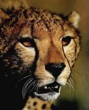 Portrait of a Cheetah - Extreme Closeup: 8x10 In. Photo Print