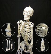 New Life Size Human Anatomical Advanced Skeleton Anatomy Model + Stand