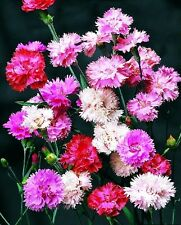 DIANTHUS SPRING BEAUTY MIXED 600 SEEDS PERENNIAL FLOWER