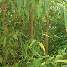 Pair of Bamboo Plants Hardy Potted Yellow Stems Zigzag Outdoor Garden Trees 4Ft