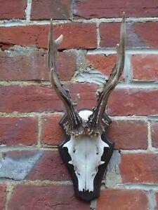 Nice Real Large Roe Deer/Buck Skull/Antlers - Taxidermy - Short Nose on Shield