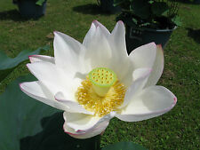 Sacred Lotus - White (nelumbo nucifera) 4 Reliable Viable Seeds