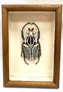 Joli cadre avec un Goliathus orientalis (corps de 85 mm) - Zaire