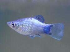 Beautiful BLUE PLATY regular live freshwater aquarium fish