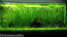 3 x STRAIGHT VALLIS Live Aquatic Plant Vallisneria tortifolia tropical aquarium