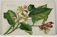 Flowers Lemon Blossoms Fidelity in Love Vintage Postcard G17