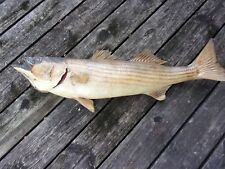"""Vintage mounted striped bass monster 34"""" trophy fish, wall mount, pre owned"""