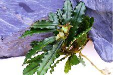 *Buy 2 Get 1 Free* Bucephalandra Katherine Buce Rhizome Live Aquarium Plant ✅