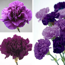 100Pcs Purple Carnation Dianthus Caryophyllus Flower Seeds Garden Decor Newly