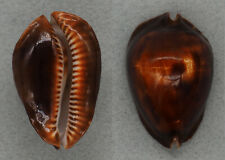 Coquillage de collection : Cypraea rosselli Rare (45 mm - F+++)