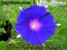 Kikyo Sapphires Japanese Morning Glory 6 Seeds