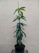 Banilejo Biscochuelo mango fruit tree 2-3 ft tall