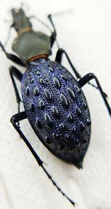 Carabidae, Carabus sp, 40mm, Hubei, China