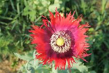 Organic Drama Queen Poppy Flower Seeds (Papaver Somniferum) 300 + Seeds
