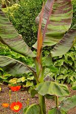 Musa Sikkimensis, Rote Tigerbanane, winterhart, essb. Früchte!, 8 Samen,8 seeds