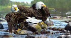 American bald eagle catching fish Giclee Art Printed on canvas L1941