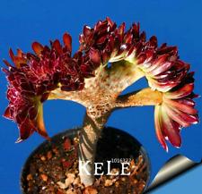 100 Pcs Seeds Rare Flowers Garden Cactus Succulent Lithops Hybrid Bonsai Plants