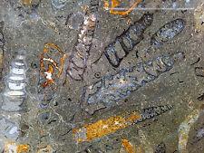 Couchtischplatte Marmorplatte Schnecke Ammonit  Fossil  Jura Sedimentgestein NEU