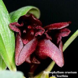 TS1020.7 Bulbophyllum cruentum Bare Root T642