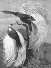 LONDON. Birds of Paradise at the zoo, antique print, 1878