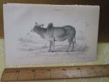 Vintage Print,ZEBU INDIA,Plate 26,Jardine,c1840