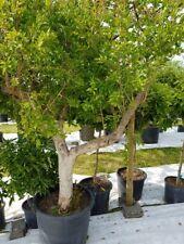 Punica Granatum Granatapfel Baum Granatapfelbaum Höhe: ca. 1,80 - 2,20m LUKOS