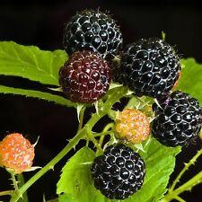 Raspberry Black Bush Seeds (Rubus occidentalis) 25+Seeds