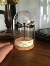 Cabinet de curiosités Oddities Globe insecte libellule Euphaea variegata