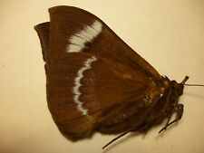 Real Dried Insect/Butterfly/Moth Non-Set.Large Sphingidae Rare Moth S5