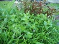 100 x Wasserpflanzen set aquariumpflanzen 10 pflanzenarten PP