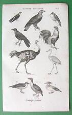 BIRDS Ostrich Raven Cock - 1852 Antique Print