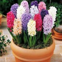USA- 50Pcs Hyacinthus Orientalis Seeds, Hyacinth seeds, Mixing Varieties