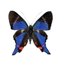 Rhetus periander One Real White Blue Peru Butterfly Unmounted Wings Closed