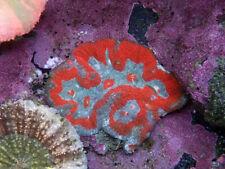 New listing Indo Super Man Symphyillia -Wysiwyg Live Coral Frag- Coral Savers